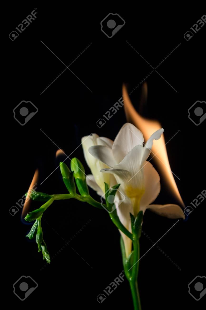 White freesia flower on fire with flames on black background stock stock photo white freesia flower on fire with flames on black background mightylinksfo