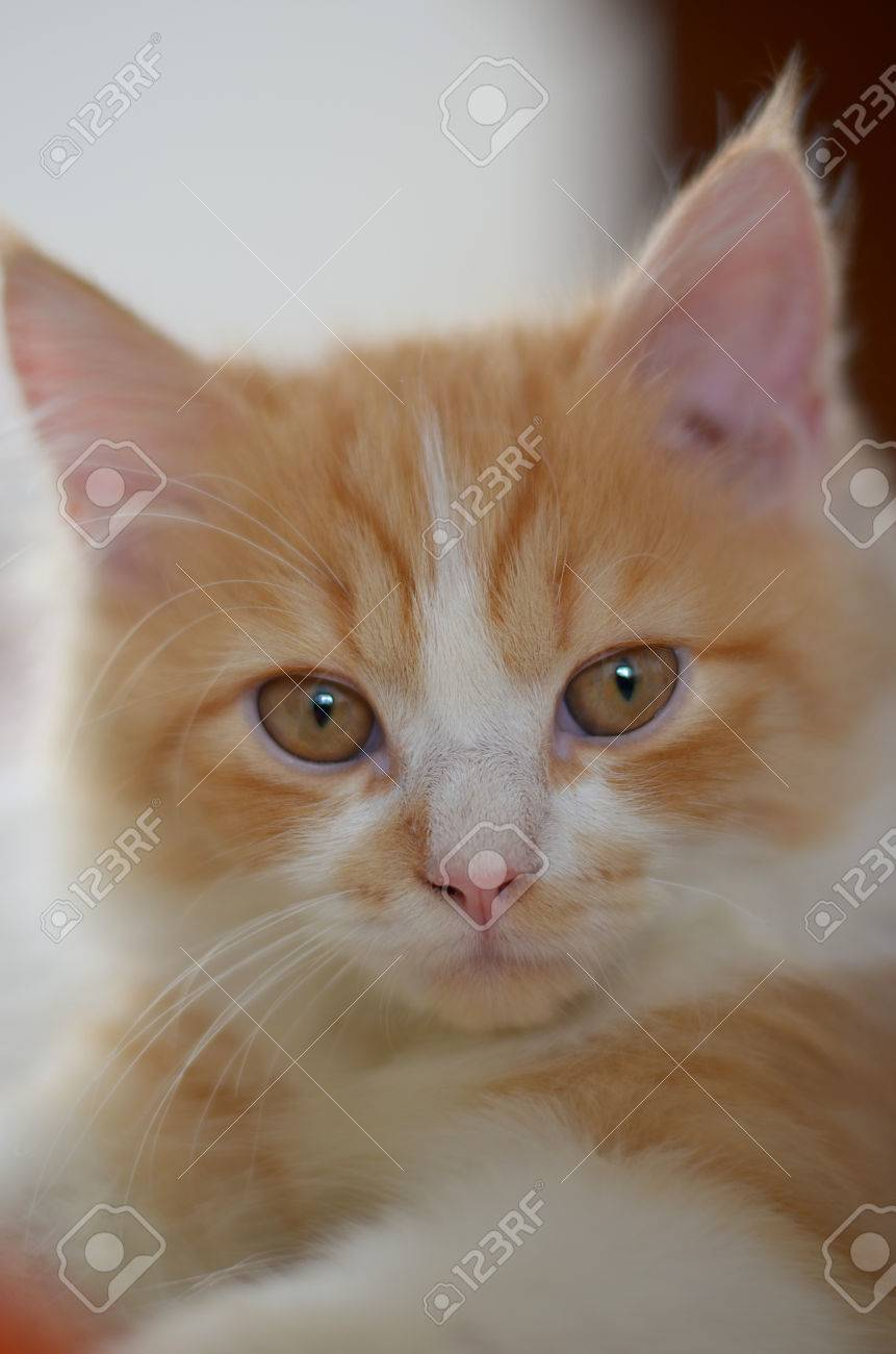 Close Up A Orange And White Persian Tabby Cat Face Stock