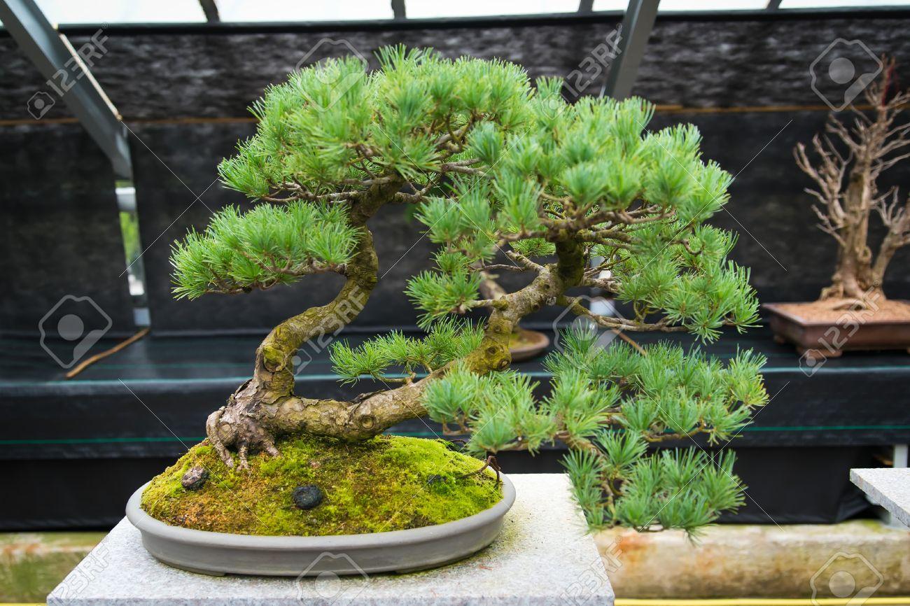 bonsai baum garten – msglocal, Garten dekoo