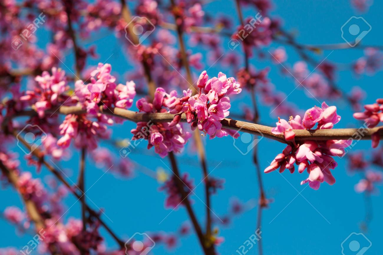 Beautiful Blossom Cercis Tree With Purple Flowers On Branches