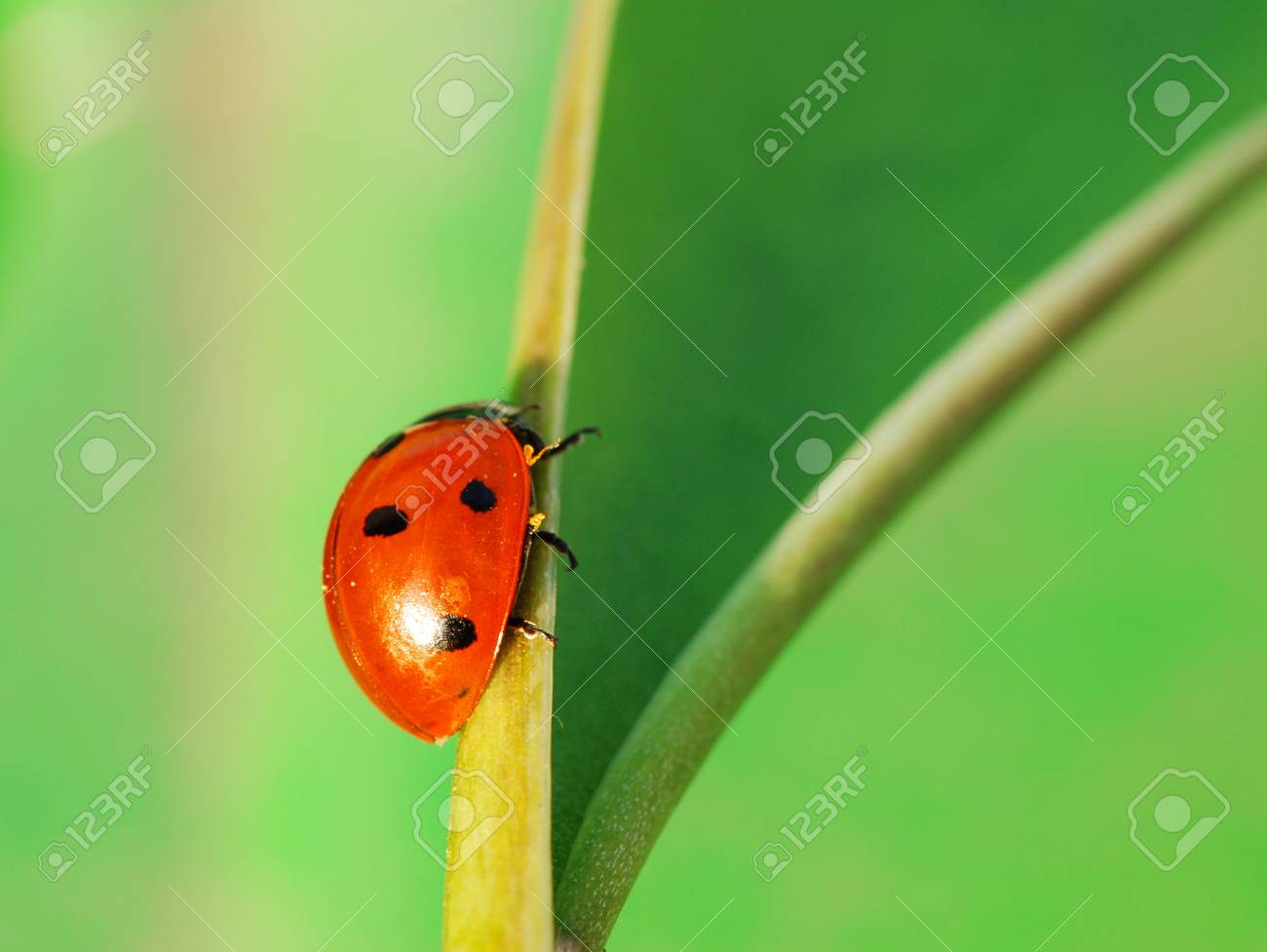 Small ladybird bug is on is way across a green leaf Stock Photo - 4804628