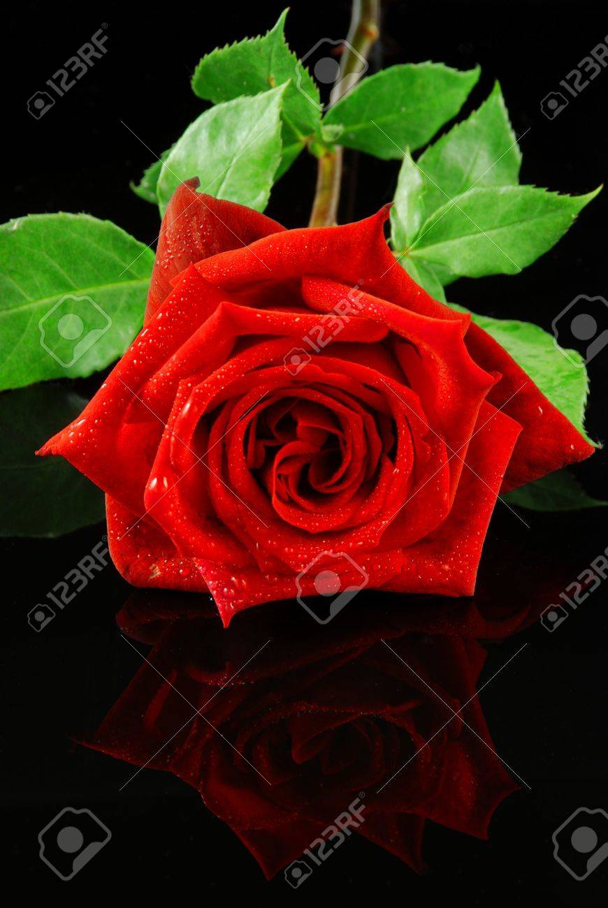 Beautiful red rose isolated on reflective black background Stock Photo - 4923354
