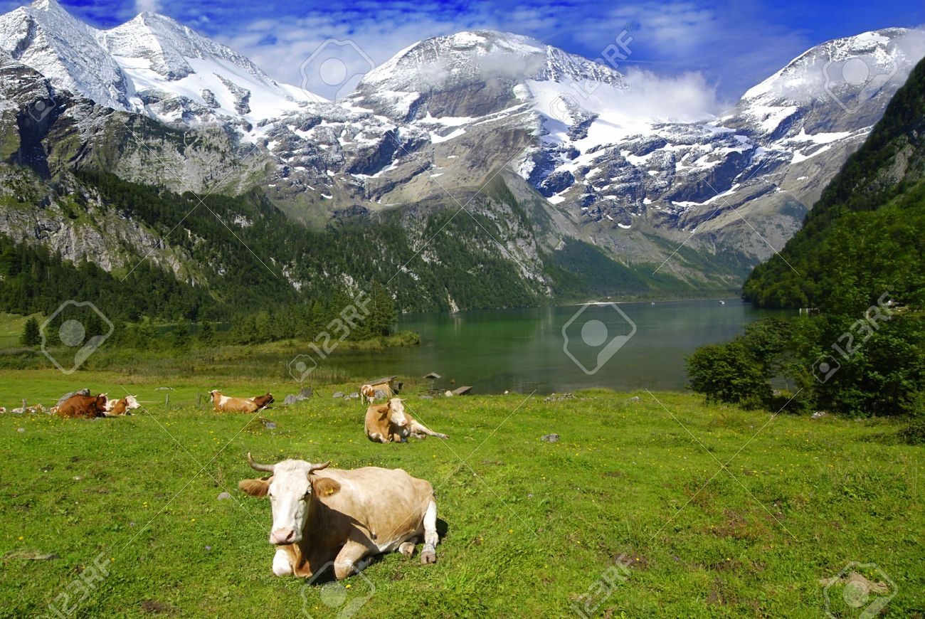 Hermoso paisaje alpino con vacas, cerca del lago con las montañas en la espalda cubierta por la nieve Foto de archivo - 5814009