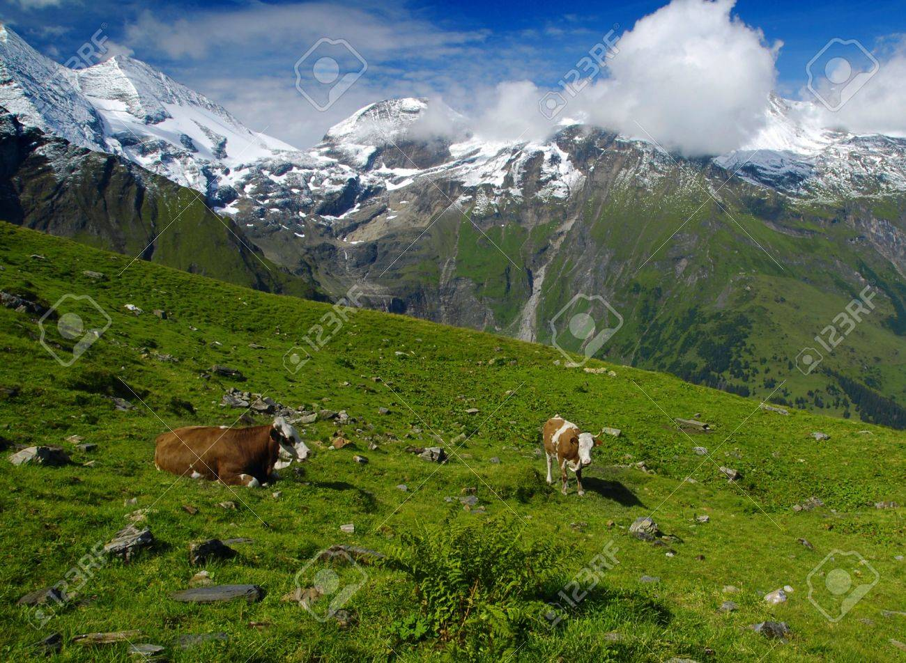 Beautiful alpine landscape with peaks covered by snow and green grass with cows in the foreground. Stock Photo - 5813968