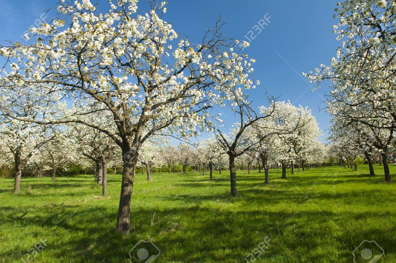 apple orchard in the middle of the spring season stock photo