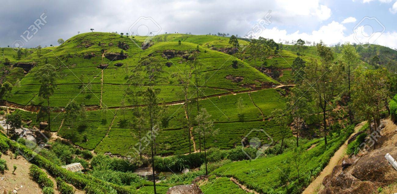 Green tea plantation of Sri Lanka in the Mountains near Nuwara Elyia. Panoramic composition Stock Photo - 11425855