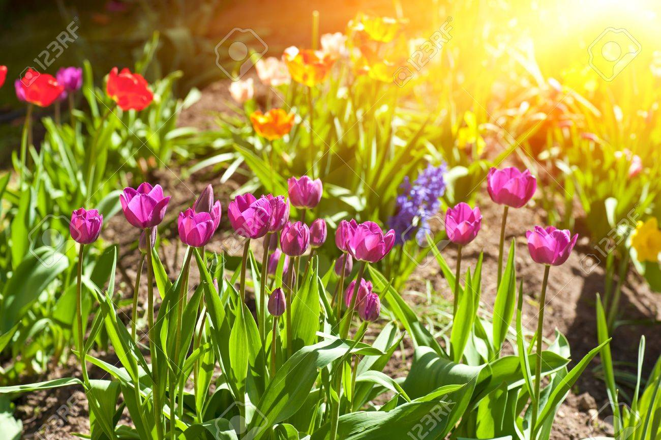 Foto de archivo , Calientes rayos del sol brillan hermosas las flores de tulipán