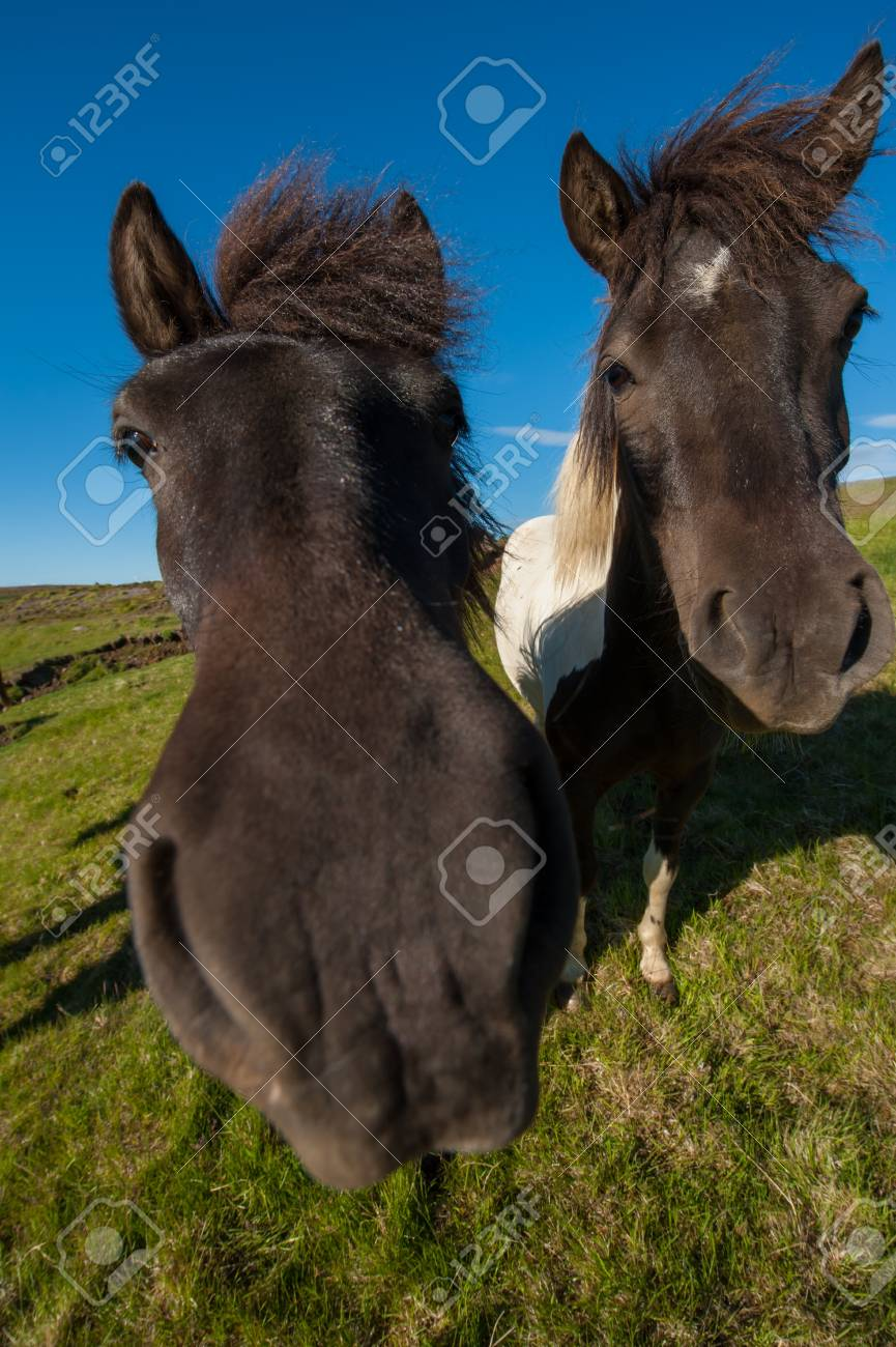 Icelandic horses are rather small and very beautiful. The breed was developed in Iceland and once exported outside the country animals cannot return Stock Photo - 17924028