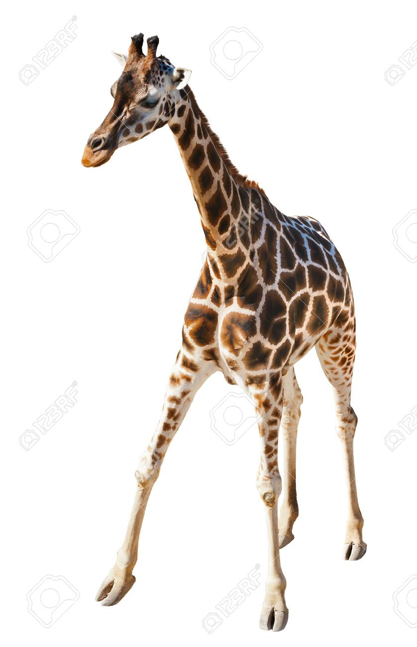 Young Giraffe isolated on the white background Stock Photo - 20282933