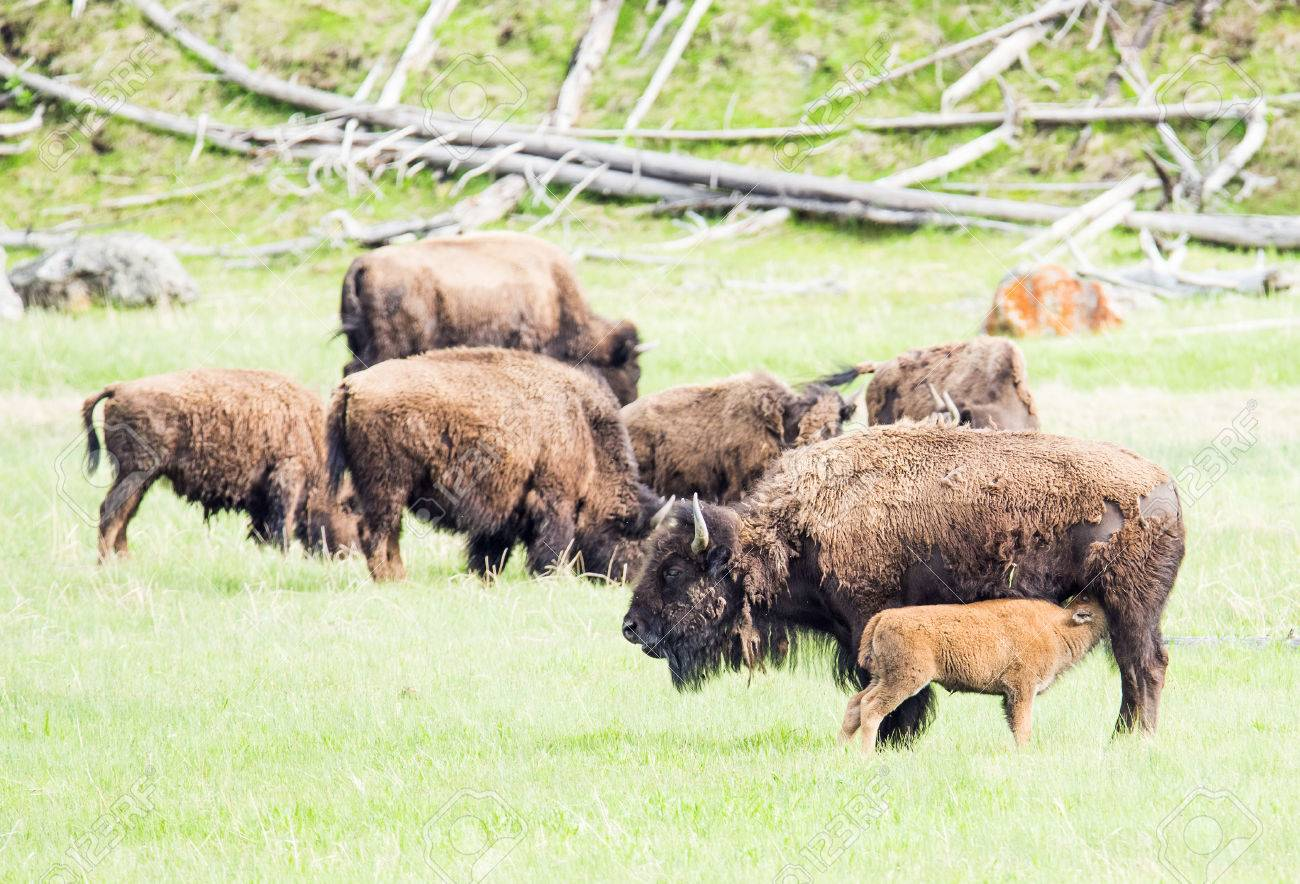 Mother Buffalo Bison Bison Is Nursing Its Baby Yellowstone