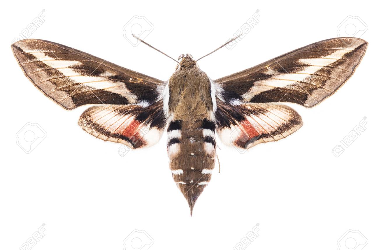 Male Bedstraw hawk-moth (Hyles gallii) isolated on white background - 97248920