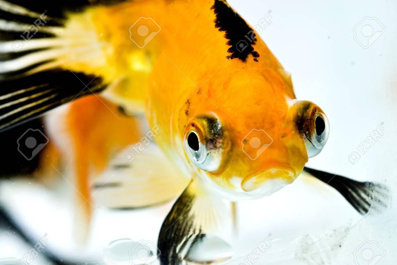 golden fish in water Stock Photo - 11938505