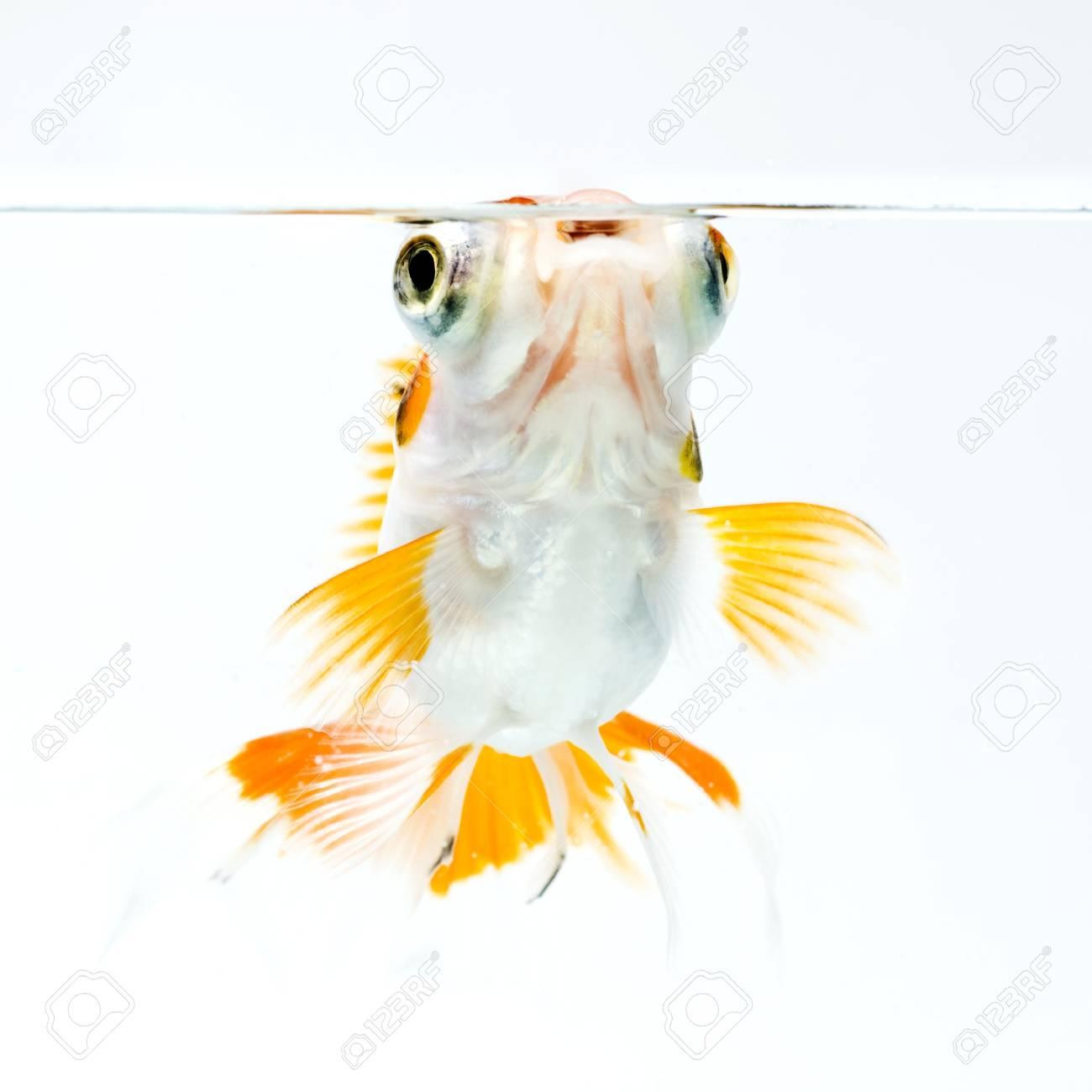 golden fish on white background Stock Photo - 11938465