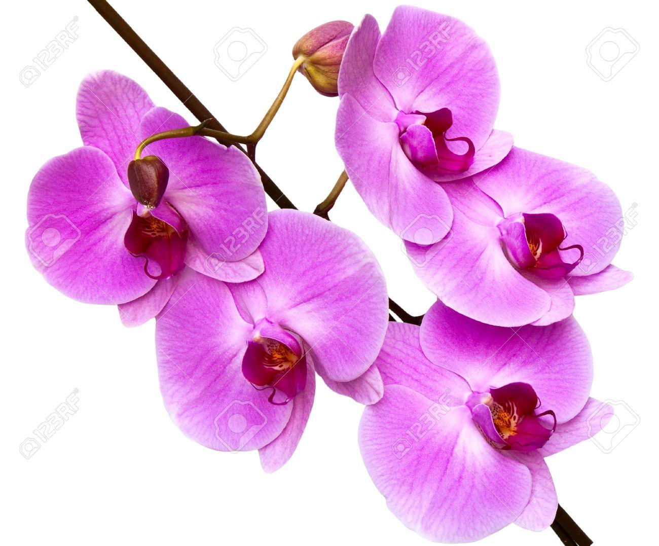Foto de archivo , orquídea aislado sobre fondo blanco