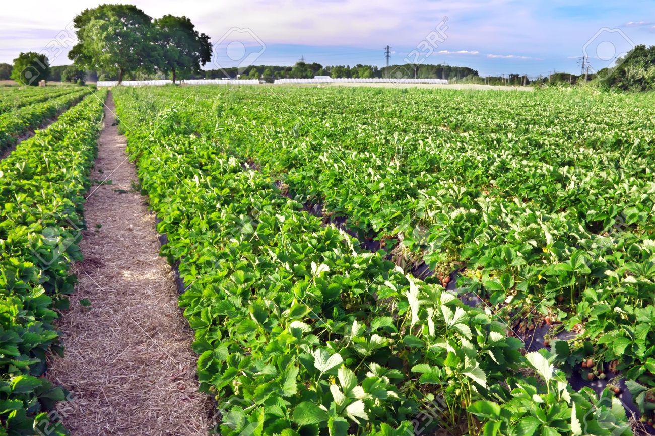 Strawberry field - 9616303