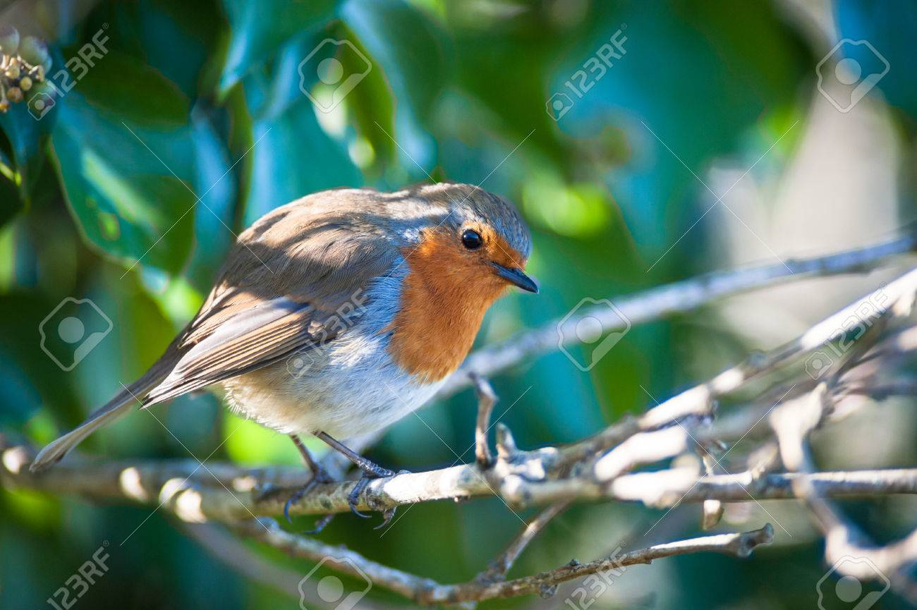 red robin bird resting in a tree stock photo picture and royalty
