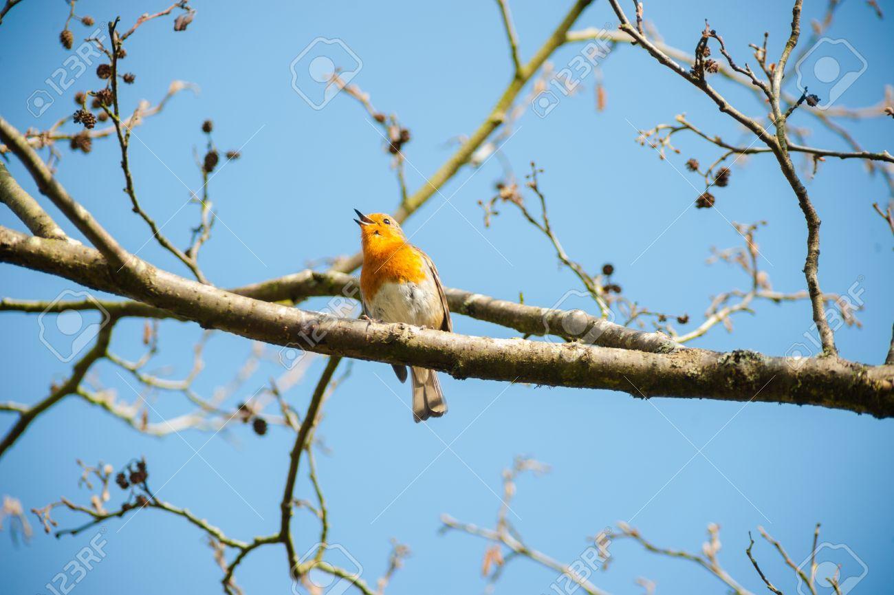 39220405-peu-chant-mignon-robin-oiseau-sur-une-branche-d-arbre-temps-de-printemps-Banque-d%27images