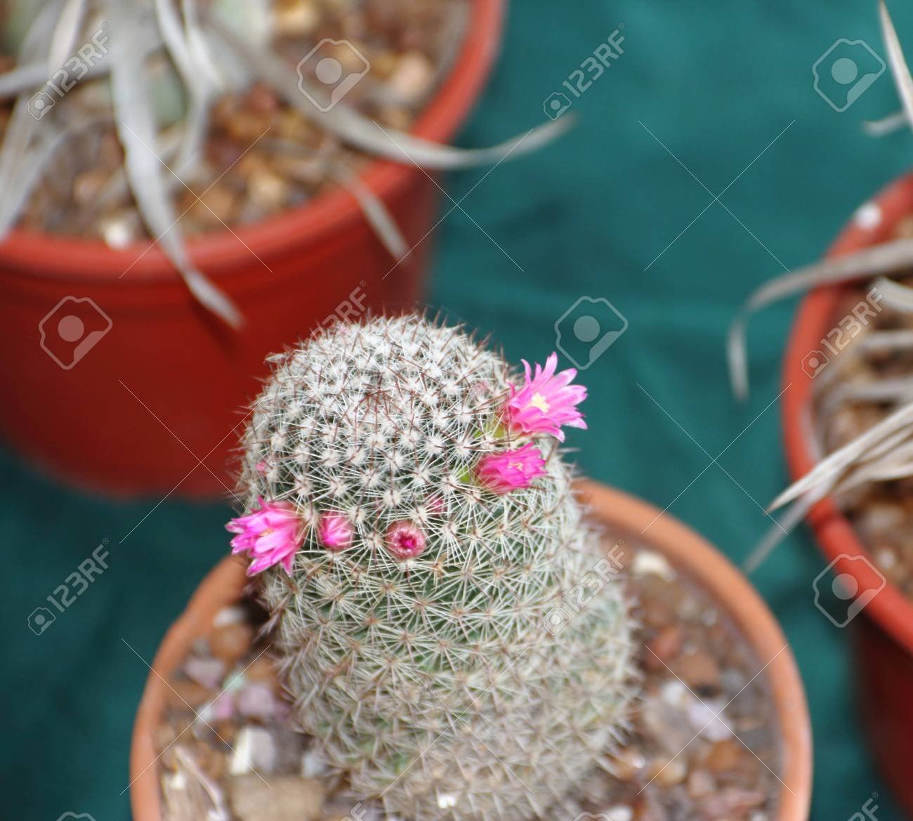 Cactus and succulents in bloom in spring stock photo picture and cactus and succulents in bloom in spring stock photo 88134568 mightylinksfo