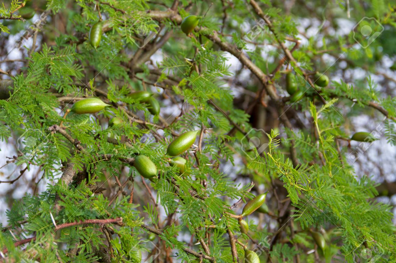 Green Fruit Of The Acacia In Summer Stock Photo Picture And Royalty