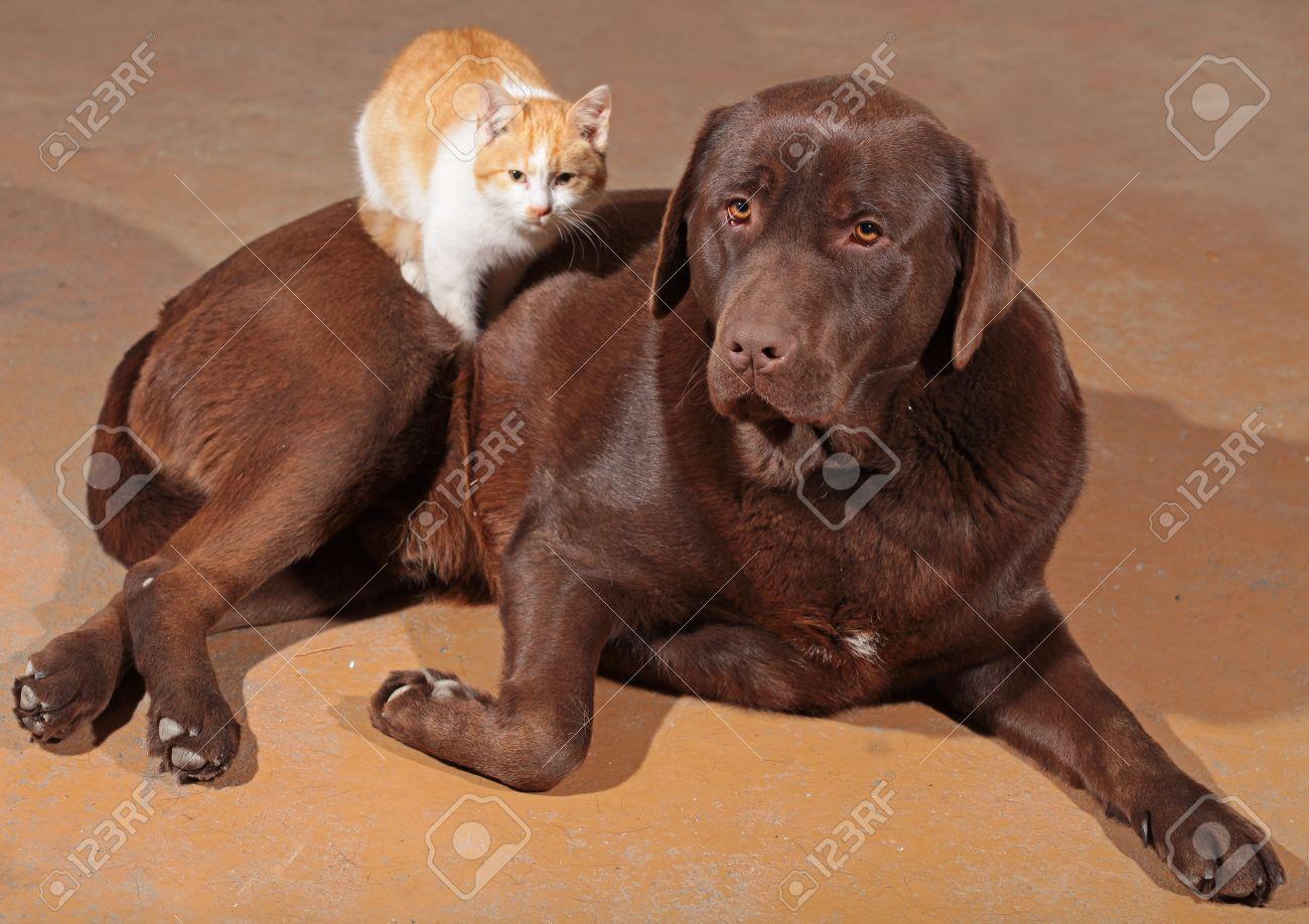 Little orange cat with a brown labrador - 24636904