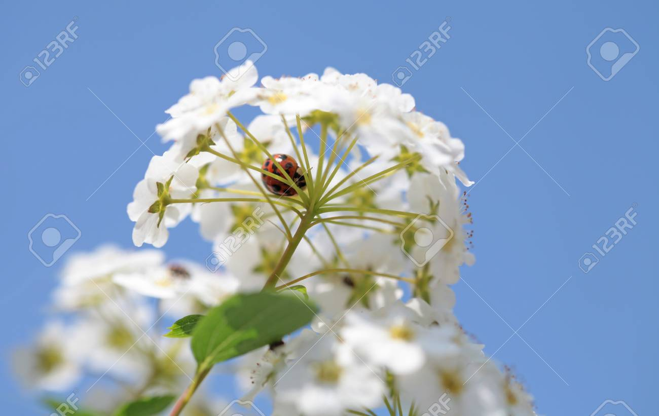 White flowers blooming bush with a ladybug - 35711282