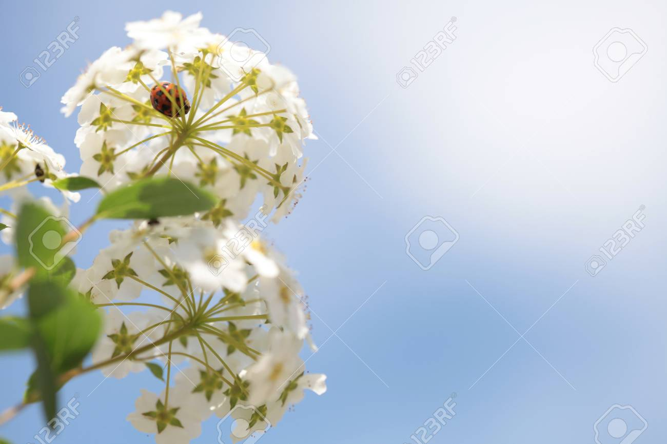 White flowers blooming bush with a ladybug - 35711285