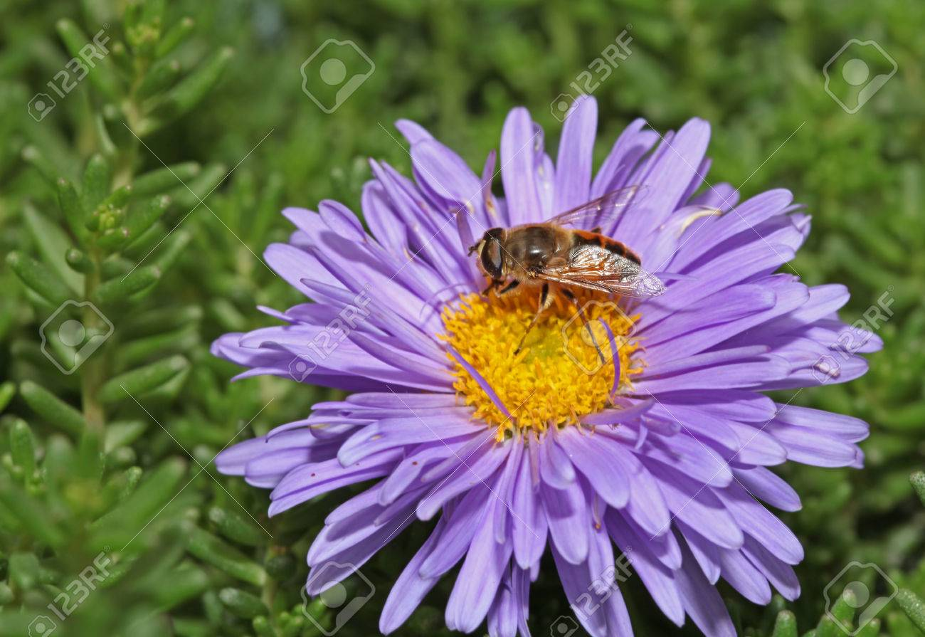 Bee with big eyes sitting on a purple flower - 35711303