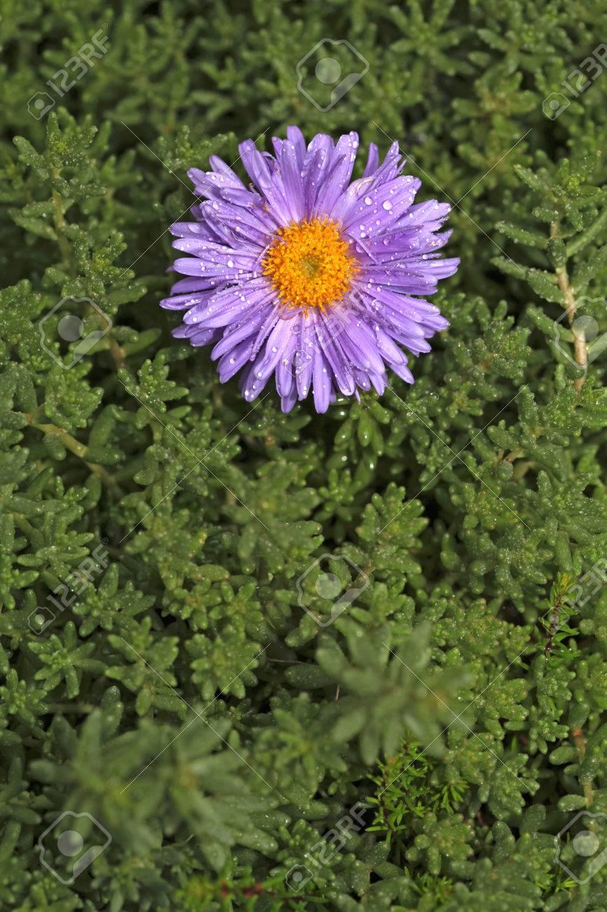 Single purple flower growing in the green - 35711346