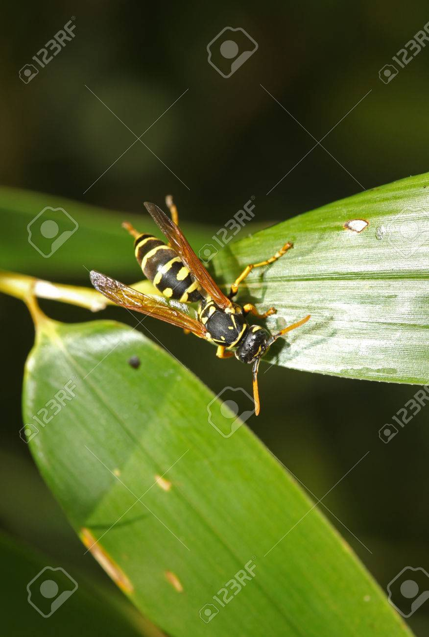 Wasp in the garden on a green leaf - 35711664