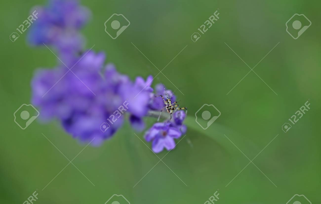 Lavenders close-up with blur background with a little grasshopper - 35711667