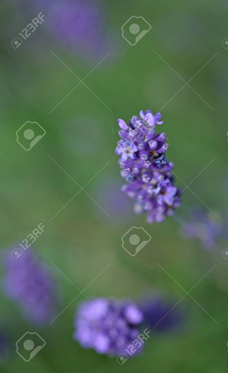 Lavenders close-up with blur background in summer - 35711688