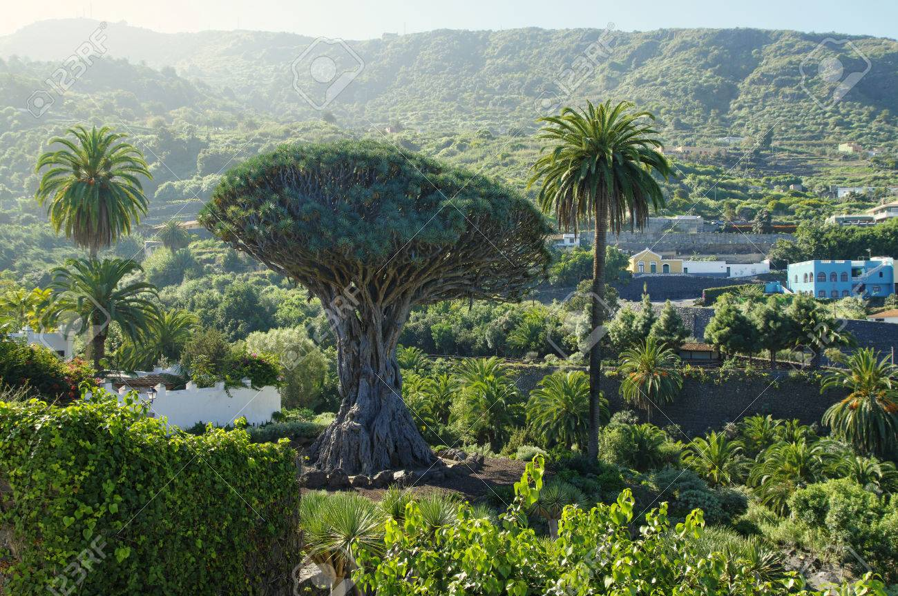 Millennial Drago tree at Icod de los Vinos, Tenerife Island , Spain - 57487396