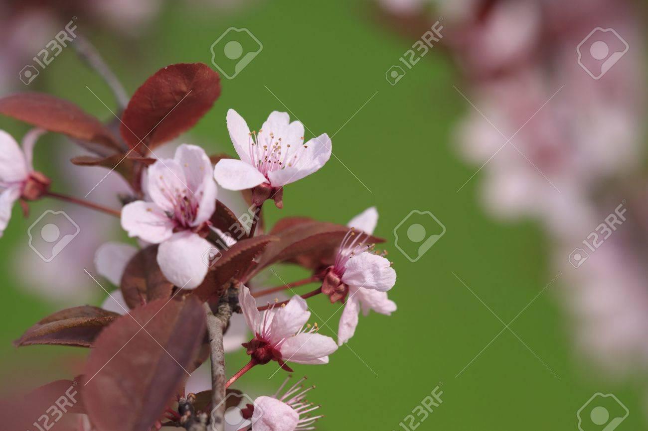 fleurs roses de plum arbre avec feuilles rouges banque d'images et