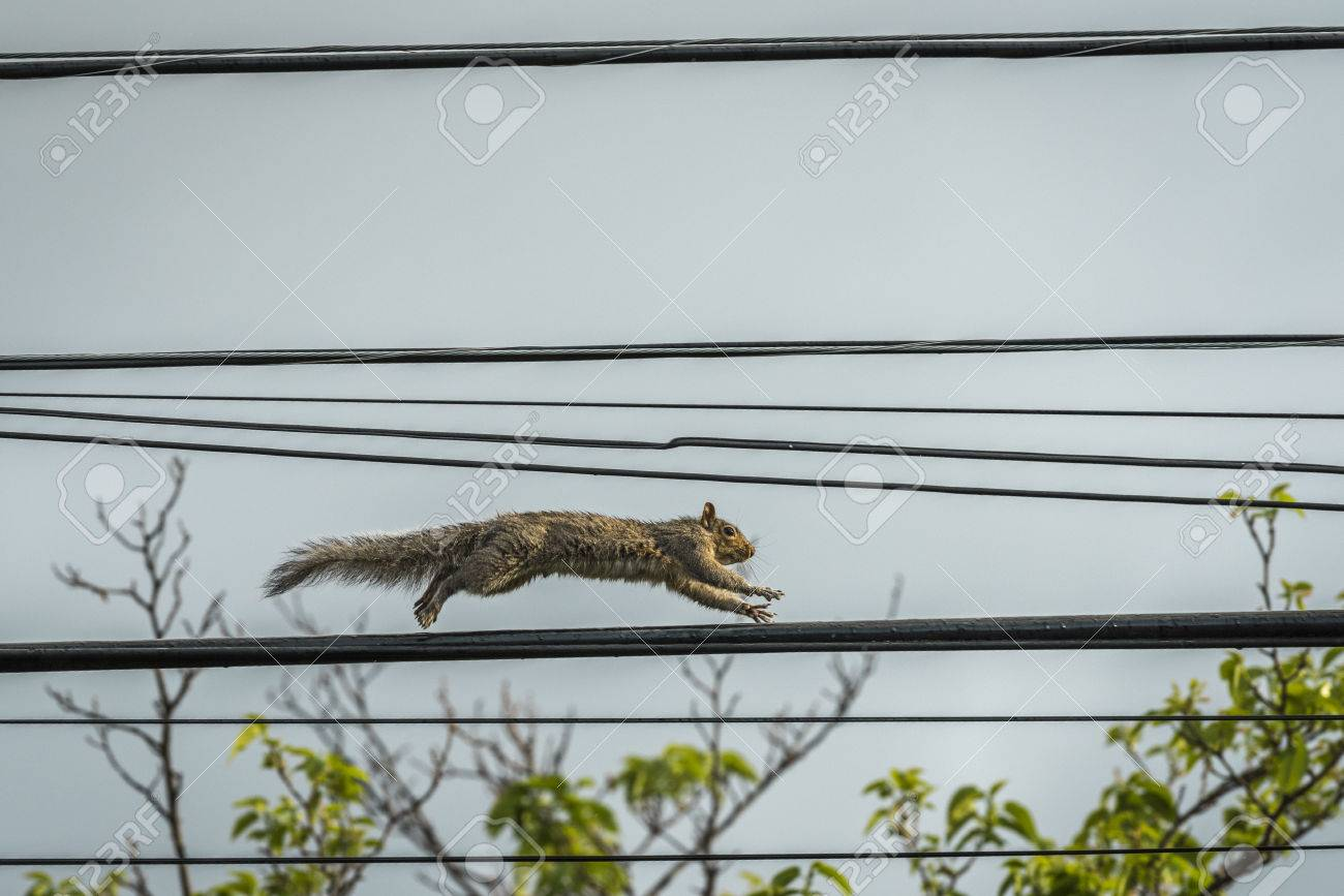 Frantic Squirrel Running On Telephone Wire Stock Photo, Picture ...