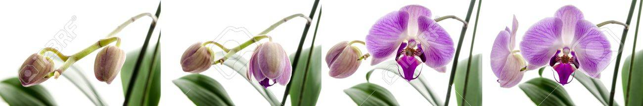 Four stages of growth with Orchid flower isolated on a white background. Stock Photo - 16954907