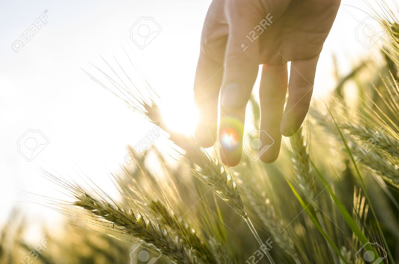 Hand of a farmer touching ripening wheat ears in early summer. Stock Photo - 20824673