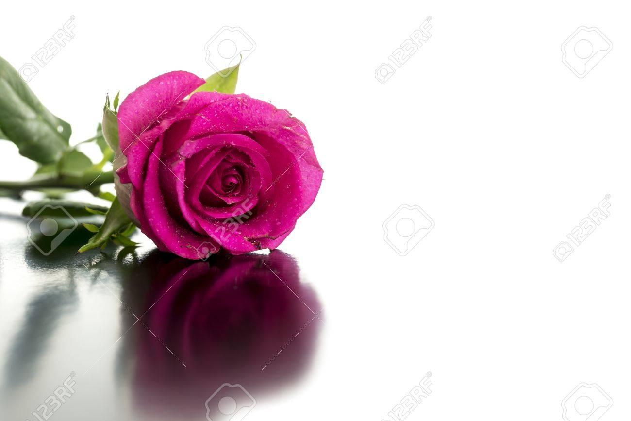 Belle rose couché sur le bureau de la réflexion sur fond blanc