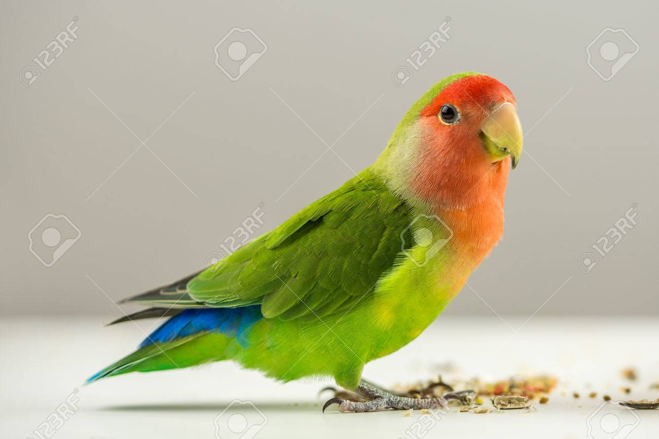 beautiful colorful agapornis bird on white with seeds at its