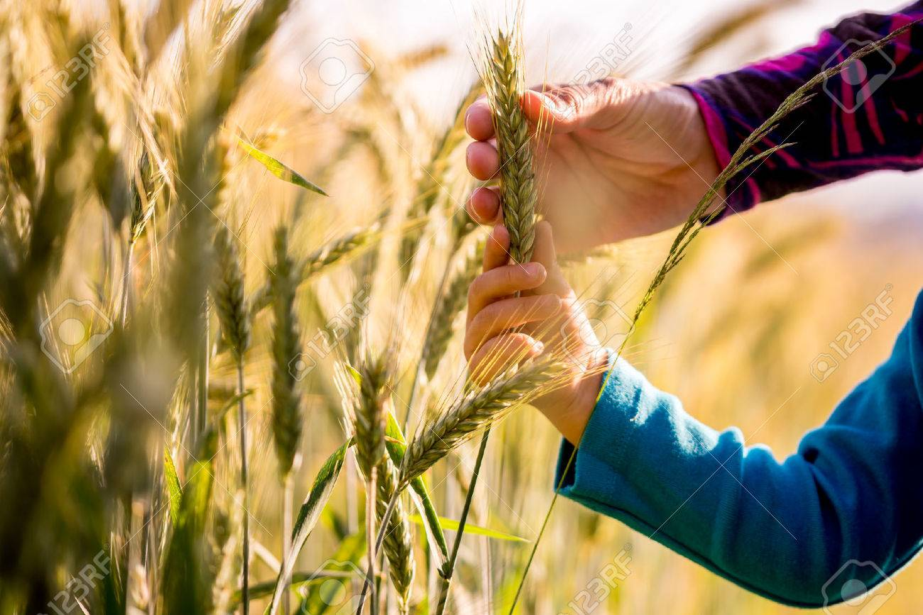 Child and woman holding a ripening ear of wheat growing in an agricultural field in a conceptual image, close up view of their arms and hands. - 32092511