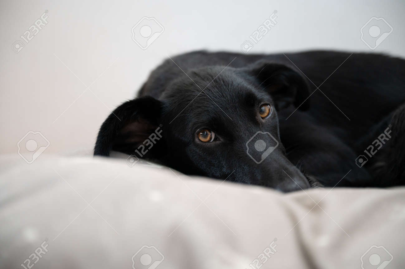 Low angle view of a beautiful black shepherd dog lying in her bed. - 169239388
