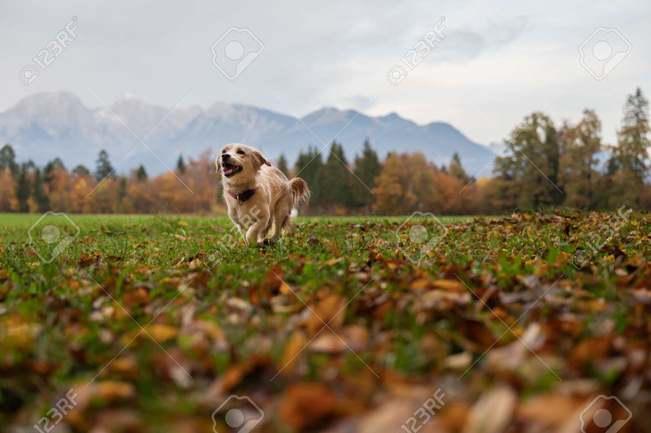 Low angle view of a cute little dog running in beautiful autumn meadow. - 171099180
