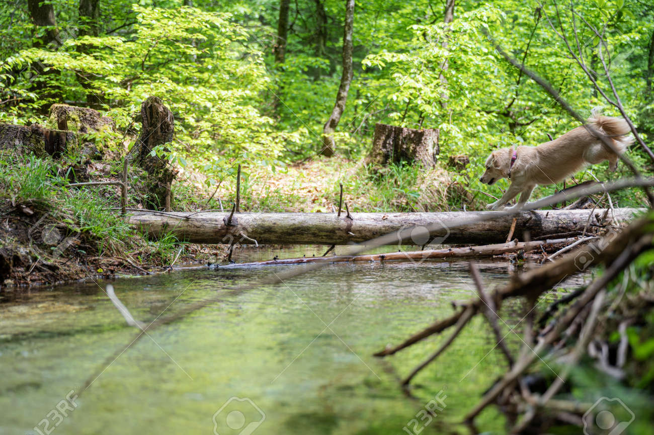 Cute small dog running on a tree trunk across a beautiful creek of clear water. - 171334776