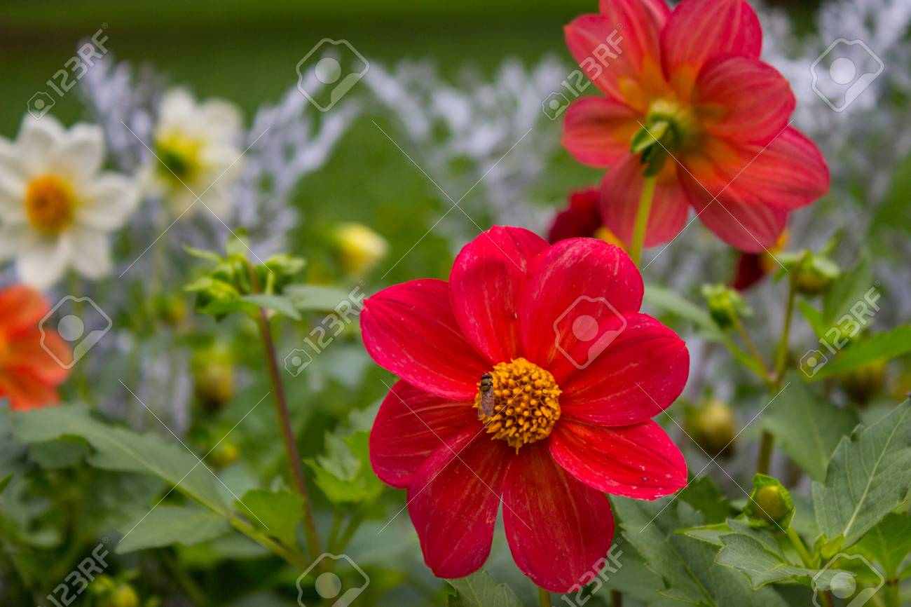 Close Up Of Beautiful Red Dahlia Flower On Garden. Natural Flowers ...