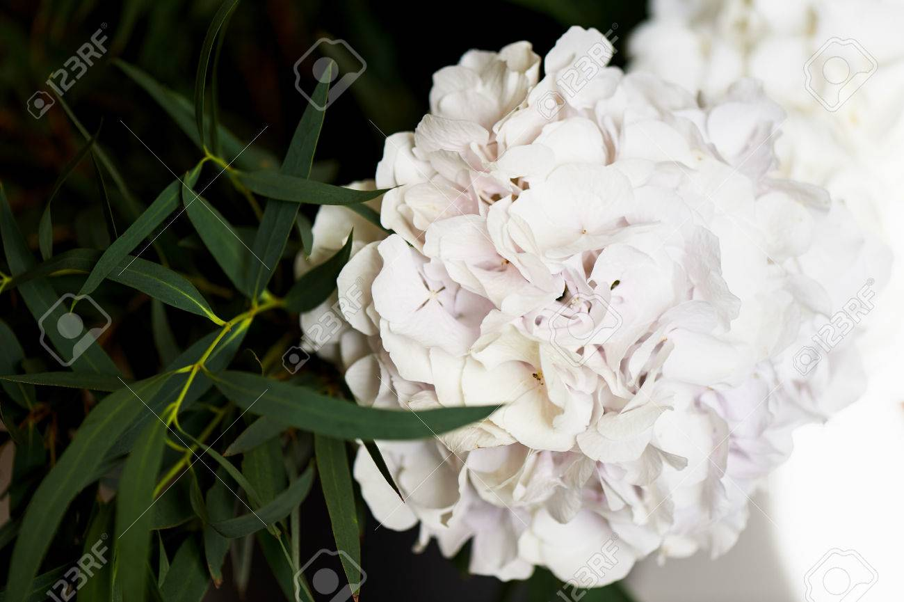 Hydrangea Bush With One Bunch Of White Flowers And Big Green Stock