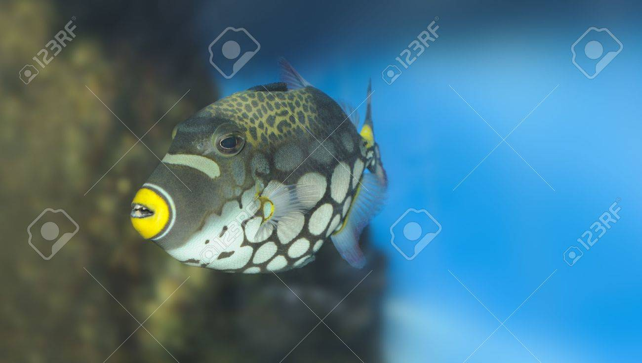 Tropical fish - Clown Triggerfish. The colourful underwater world of the warm seas Stock Photo - 5070104