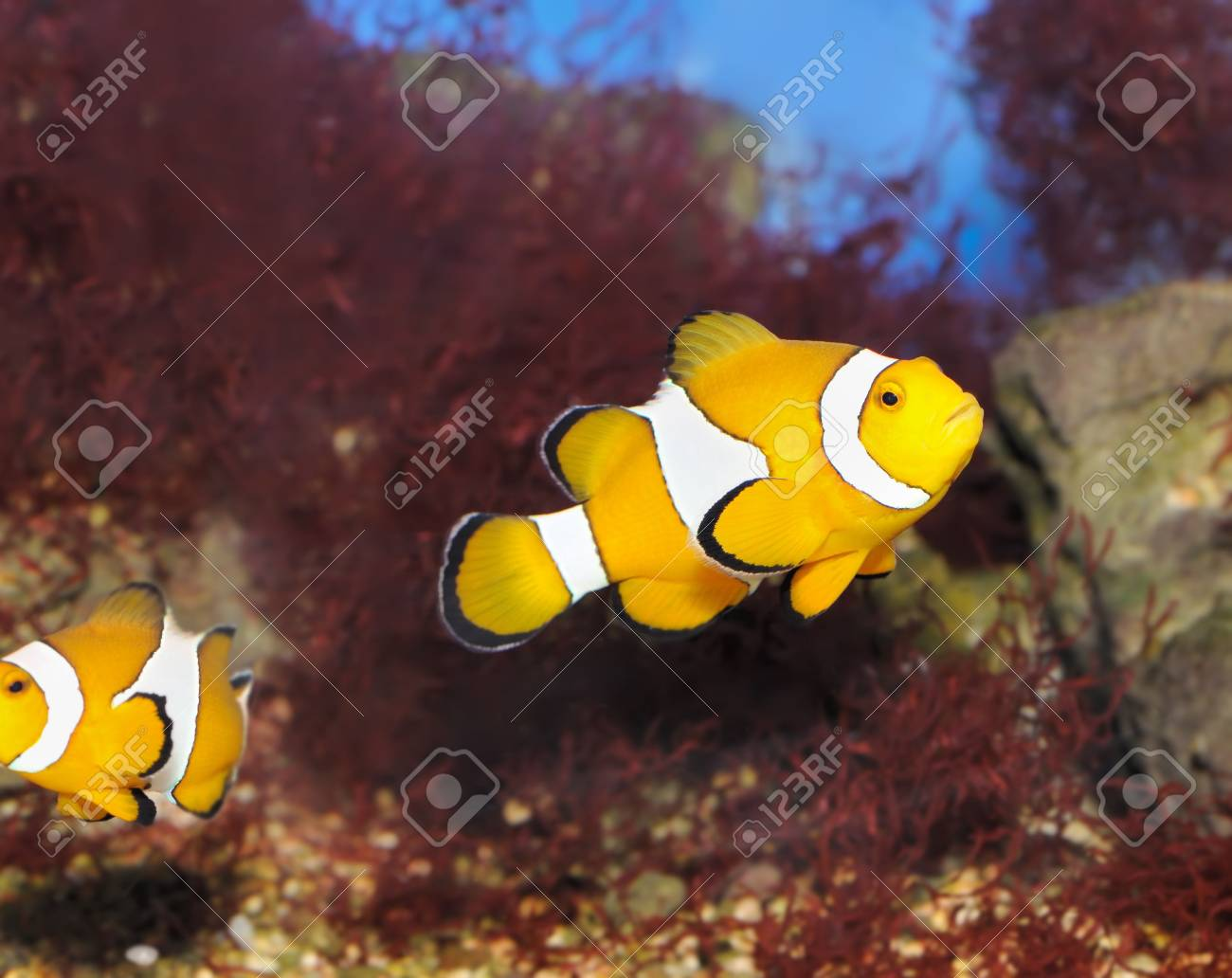 Fish - the clown. A colourful tropical fish under water Stock Photo - 5260156