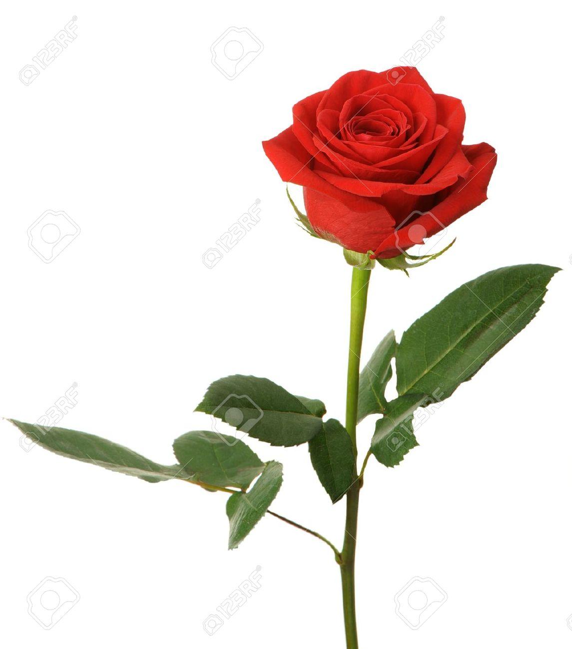 Immagini Stock Rosa Rossa è Isolato Su Uno Sfondo Bianco Image