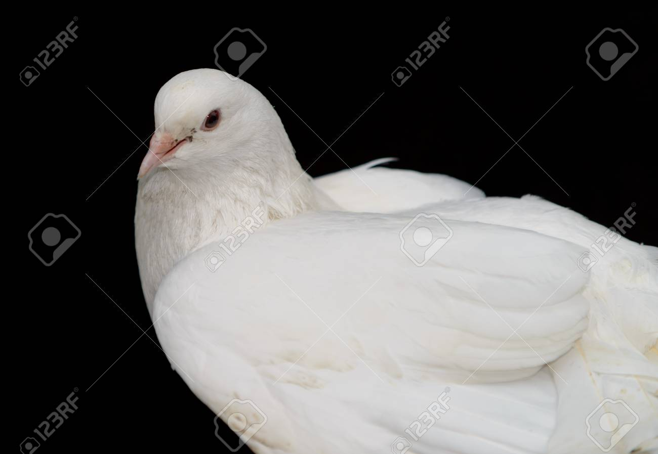 White dove on a black background. Photo closeup Stock Photo - 14660340