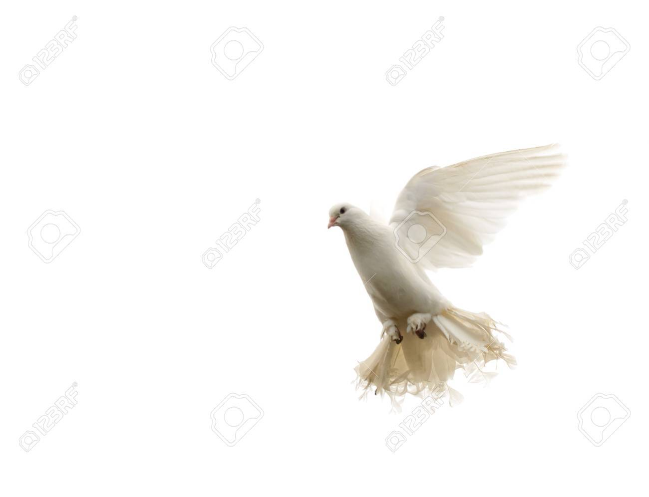 White dove in flight. Isolated on white Stock Photo - 14660337