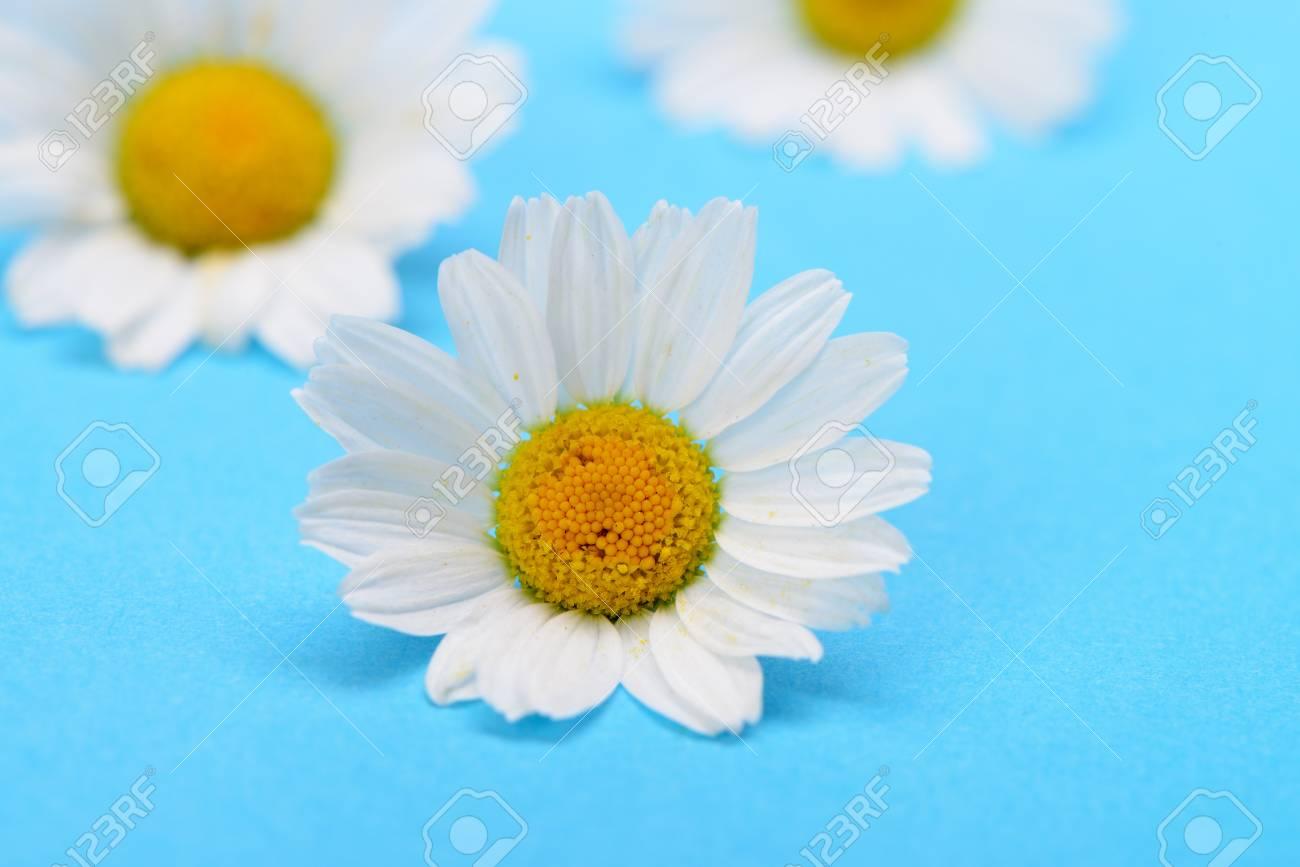 Wild chamomile. White flowers on a dark blue background Stock Photo - 14837523